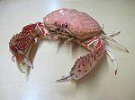 Crabe Upus