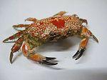 Crabe Lophozozymus pictor 34