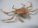 Crabe Frascone