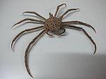 Crabe Spinny spider