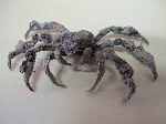 Crabe Camposcia retusa (Crabe Eponge)