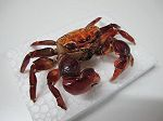 Crabe Rouge (Red)