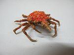 Crabe 27