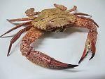Crabe Charibdis natator