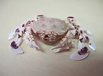 Crabe Matuta banskii