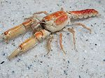 Crabe Thalassina anomala