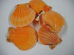 Pecten orange