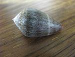 Conus Hybridus