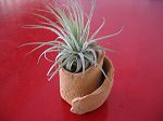 TILLANDSIA : SUPPORT TERRE  1